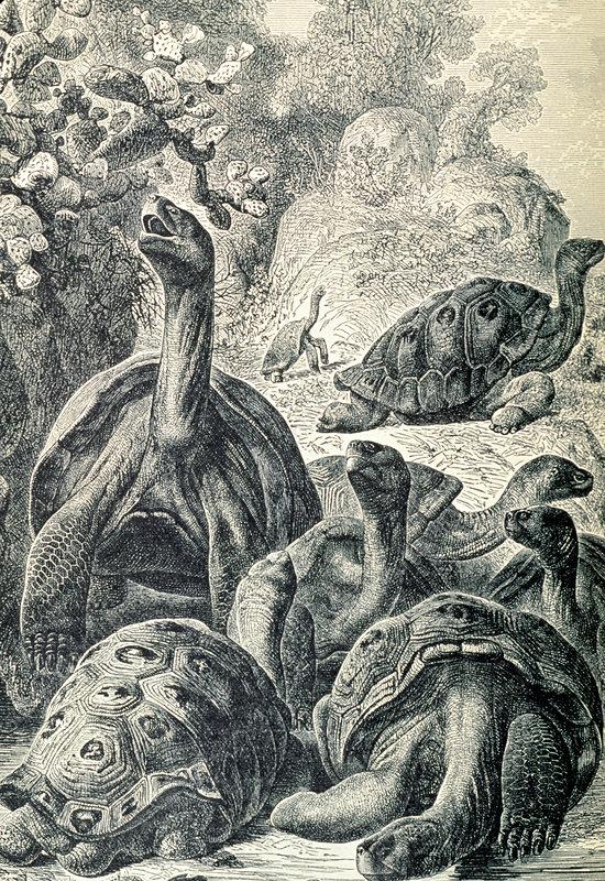 19th century engraving of Galapagos tortoises.